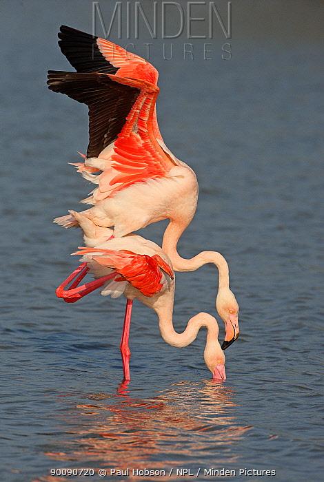 Greater flamingo (Phoenicopterus ruber) pair mating, Camargue, France  -  Paul Hobson/ npl