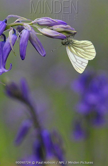 Green veined white butterfly (Pieris napi) on Bluebell (Endymion nonscriptus) Peak District, UK  -  Paul Hobson/ npl