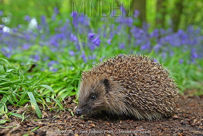 Hedgehog (Erinaceus europaeus) near bluebells, captive, Peak District, UK  -  Paul Hobson/ npl