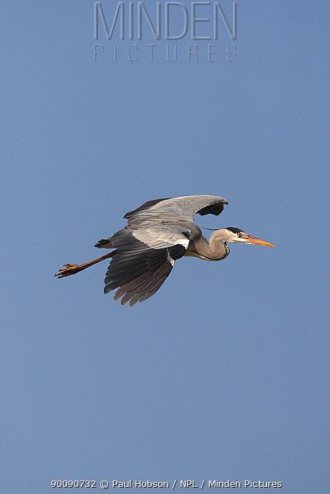 Grey heron (Ardea cinerea) in flight, Camargue, France  -  Paul Hobson/ npl