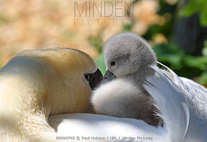 Mute swan (Cygnus olor) cygnet sitting on adults back, Dorset, UK  -  Paul Hobson/ npl