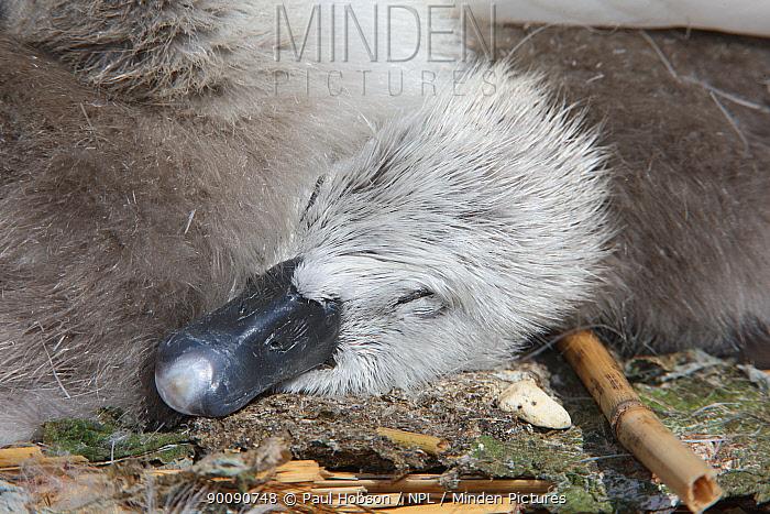 Mute swan (Cygnus olor) cygnet sleeping, Dorset, UK  -  Paul Hobson/ npl
