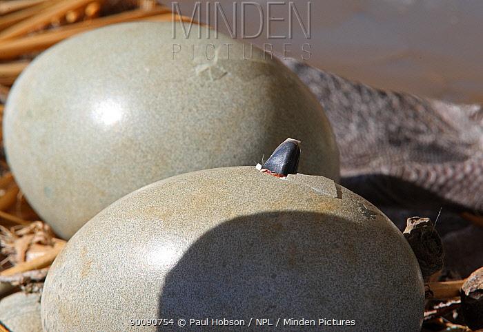 Mute swan (Cygnus olor) cygnet beak breaking through egg shell, Dorset, UK  -  Paul Hobson/ npl
