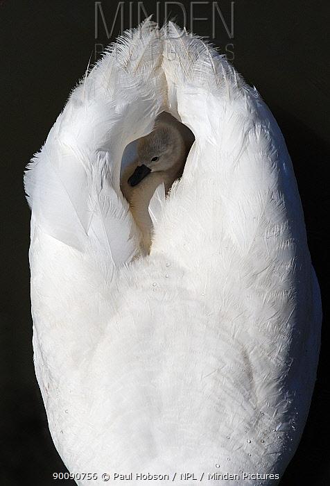 Mute swan (Cygnus olor) cygnet between wings on parents back, Dorset, UK  -  Paul Hobson/ npl