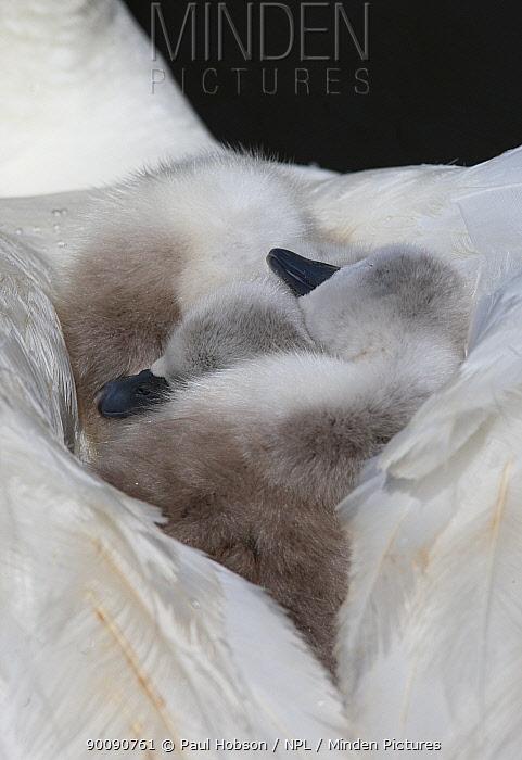 Two Mute swan (Cygnus olor) cygnets asleep on parents back, Dorset, UK  -  Paul Hobson/ npl