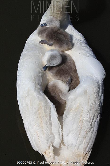 Three Mute swan (Cygnus olor) cygnets on parents back, Dorset, UK  -  Paul Hobson/ npl