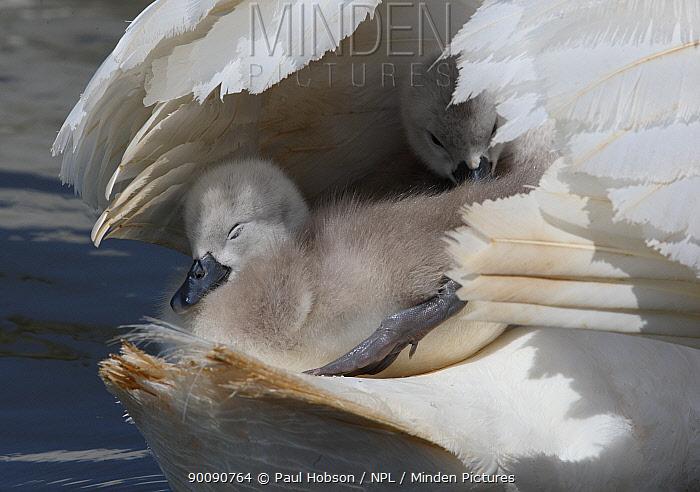 Two Mute swan (Cygnus olor) cygnets on parents back below wings, Dorset, UK  -  Paul Hobson/ npl