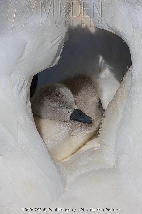 Mute swan (Cygnus olor) cygnet sleeping on parents back between wings, Dorset, UK  -  Paul Hobson/ npl