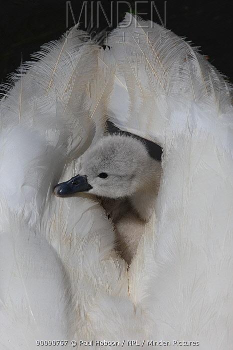 Mute swan (Cygnus olor) cygnet looking out from between parents wings, Dorset, UK  -  Paul Hobson/ npl