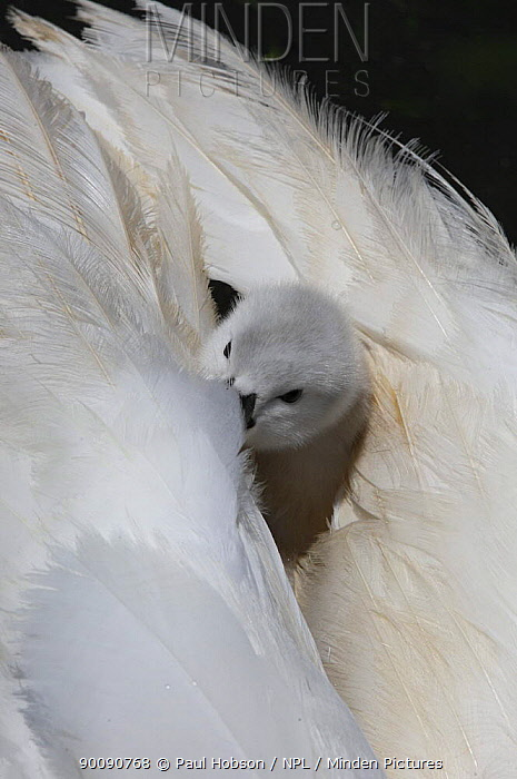 Mute swan (Cygnus olor) cygnet looking out between parents wings, Dorset, UK  -  Paul Hobson/ npl