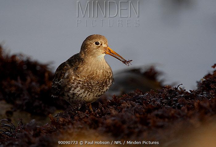 Purple sandpiper (Calidris maritima) with food in beak, winter, Yorkshire coast, UK  -  Paul Hobson/ npl