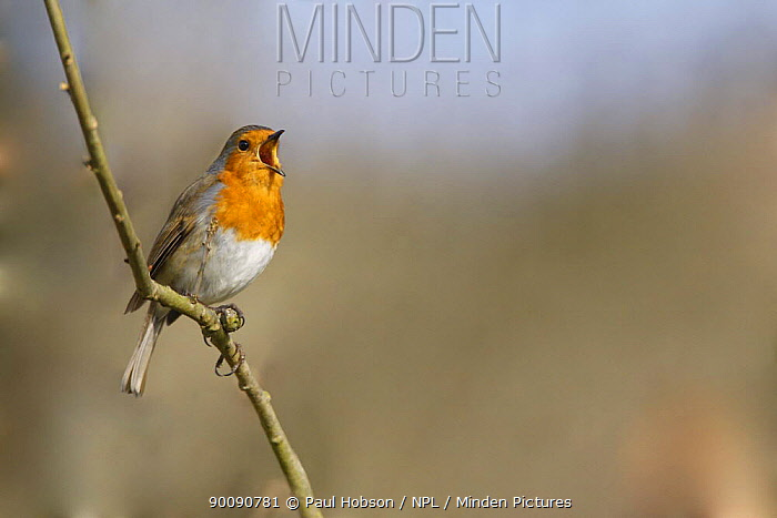 Robin (Erithacus rubecula) singing, South Yorkshire, UK  -  Paul Hobson/ npl