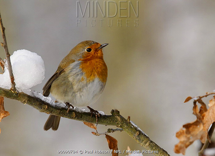 Robin (Erithacus rubecula) in snow, South Yorkshire, UK  -  Paul Hobson/ npl
