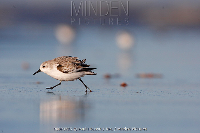 Sanderling (Calidris alba) on beach, Lincolnshire, UK  -  Paul Hobson/ npl