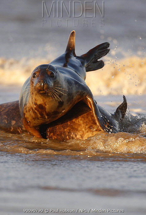 Two Grey seals (Halichoerus grypus) playing in surf, Lincolnshire coast, UK  -  Paul Hobson/ npl
