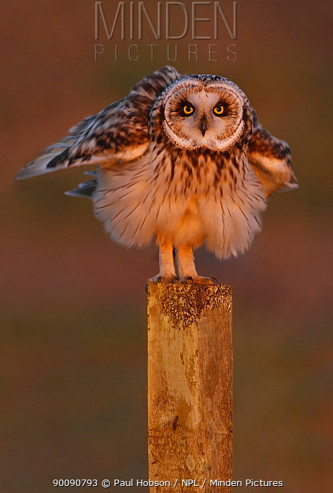 Short eared owl (Asio flammeus) with ruffled feathers on fence post, South Yorkshire, UK  -  Paul Hobson/ npl