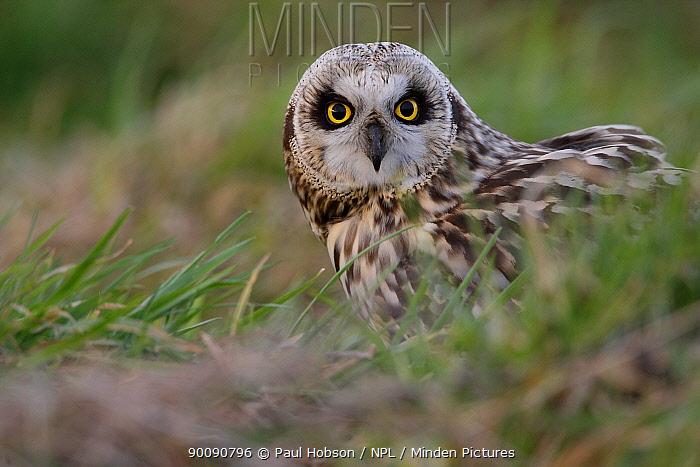 Short eared owl (Asio flammeus) on ground, South Yorkshire, UK  -  Paul Hobson/ npl