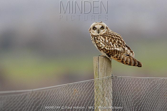 Short eared owl (Asio flammeus) sitting on fence post, South Yorkshire, UK  -  Paul Hobson/ npl