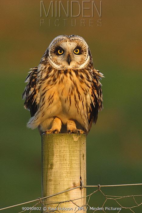 Short eared owl (Asio flammeus) on fence post, South Yorkshire, UK  -  Paul Hobson/ npl