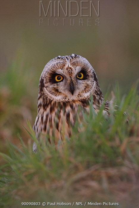 Short eared owl (Asio flammeus) South Yorkshire, UK  -  Paul Hobson/ npl