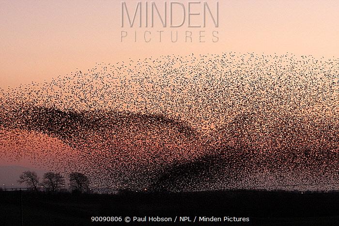 Large flocks of Common starlings (Sturnus vulgaris) going to roost at dusk, Gretna Green, Scotland  -  Paul Hobson/ npl
