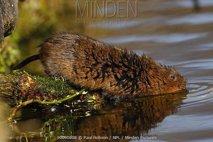 Water vole (Arvicola terrestris) going into water from tree stump, Peak District, UK  -  Paul Hobson/ npl