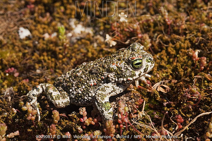 Natterjack toad (Bufo calamita) Sierra de And�jar Natural Park, Mediterranean woodland of Sierra Morena, north east Ja?n Province, Andalusia, Spain, April 2009  -  WWE/ Oxford/ npl