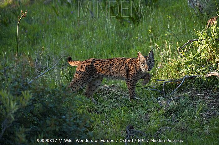 Wild Iberian lynx (Lynx pardinus) female, one year, Sierra de And�jar Natural Park, Mediterranean woodland of Sierra Morena, north east Ja?n Province, Andalusia, Spain, April 2009, Critically endangered  -  WWE/ Oxford/ npl