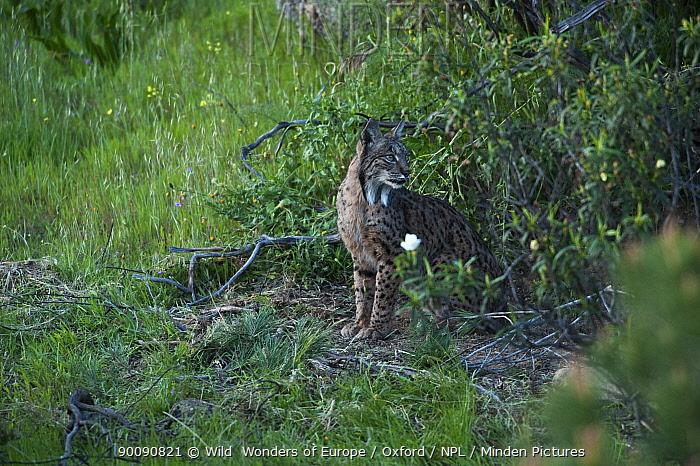 Wild Iberian lynx (Lynx pardinus) female emerging from undergrowth, Sierra de And�jar Natural Park, Mediterranean woodland of Sierra Morena, north east Ja?n Province, Andalusia, Spain, April 2009, Critically endangered  -  WWE/ Oxford/ npl
