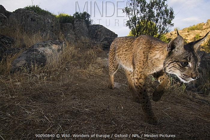 Wild Iberian lynx (Lynx pardinus) male walking, Sierra de And�jar Natural Park, Mediterranean woodland of Sierra Morena, north east Ja?n Province, Andalusia, Spain, May 2009, Critically endangered  -  WWE/ Oxford/ npl
