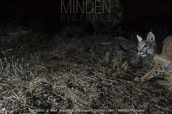 Wild Iberian lynx (Lynx pardinus) male, Sierra de And�jar Natural Park, Mediterranean woodland of Sierra Morena, north east Ja?n Province, Andalusia, Spain, May 2009, Critically endangered  -  WWE/ Oxford/ npl