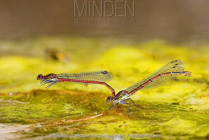 Large red damselfly (Pyrrhosoma nymphula), male clasped on to female, Bristol, UK  -  Michael Hutchinson/ npl