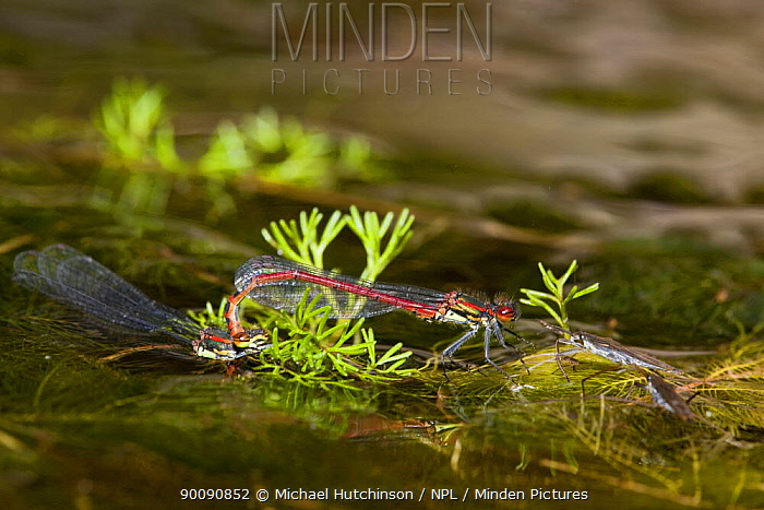Large red damselfly (Pyrrhosoma nymphula), mated pair, female mostly submerged laying eggs (ovipositing) in pond near Pond skaters (Gerris lacustris), Bristol, UK  -  Michael Hutchinson/ npl