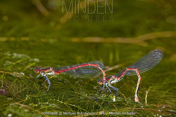 Large red damselfly (Pyrrhosoma nymphula), mated pair, females laying eggs (ovipositing) in pond, Bristol, UK  -  Michael Hutchinson/ npl
