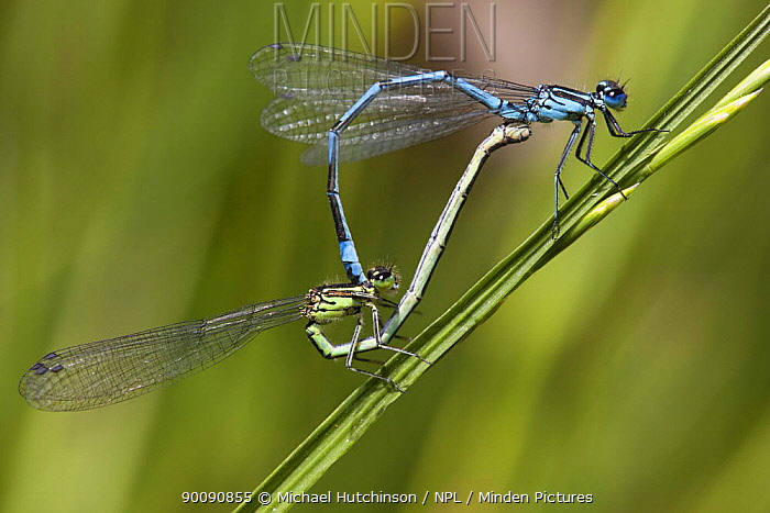 Azure Damselfly (Coenagrion puella) male and female in mating wheel on grass stem, Bristol, UK  -  Michael Hutchinson/ npl