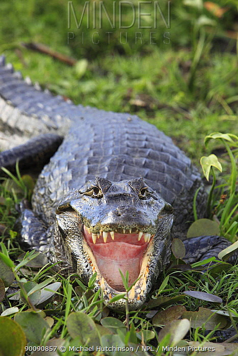 Spectacled caiman (Caiman crocodilus) with mouth wide open, Esteros del Ibera, Argentina  -  Michael Hutchinson/ npl