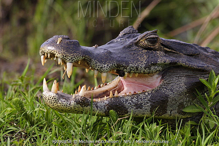 Spectacled caiman (Caiman crocodilus) with mouth open, Esteros del Ibera, Argentina  -  Michael Hutchinson/ npl