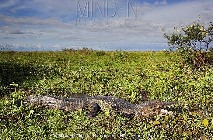 Spectacled caiman (Caiman crocodilus) in marsh habitat, Esteros del Ibera, Argentina  -  Michael Hutchinson/ npl