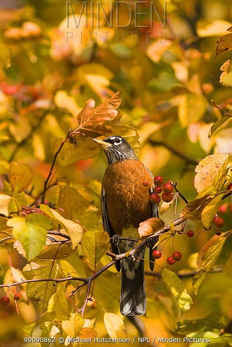 American Robin (Turdus migratorius), in colourful crab apple tree (Malus sp), Pennsylvania, USA, November  -  Michael Hutchinson/ npl