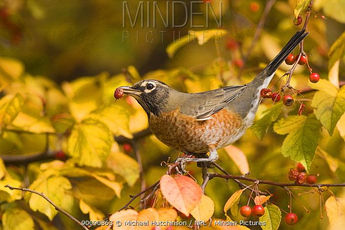 American Robin (Turdus migratorius), feeding on red fruit of crab apple (Malus sp) Pennsylvania, USA, November  -  Michael Hutchinson/ npl