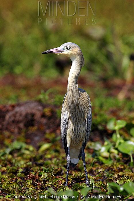 Whistling Heron (Syrigma sibilatrix) on marsh, Esteros del Ibera, Argentina  -  Michael Hutchinson/ npl