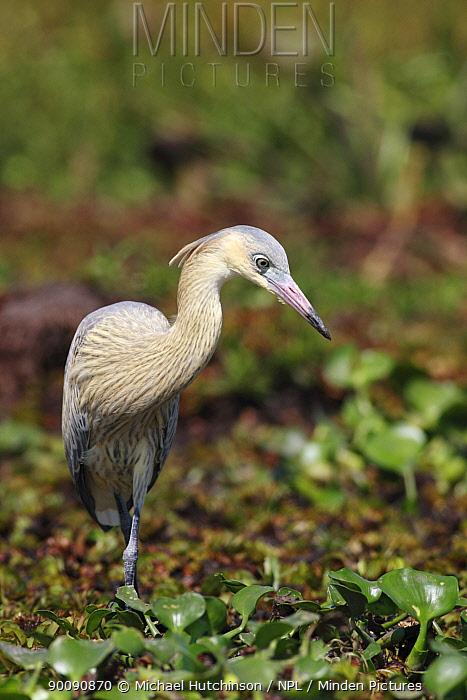 Whistling Heron (Syrigma sibilatrix) foraging on marsh, Esteros del Ibera, Argentina  -  Michael Hutchinson/ npl