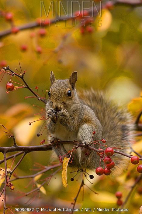 Grey Squirrel (Sciurus carolinensis) juvenile in colourful Crab apple tree (Malus sp) feeding on red berries, Pennsylvania, USA, November  -  Michael Hutchinson/ npl