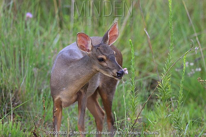 Marsh deer (Blastocerus dichotomus) feeding on marsh, Esteros del Ibera, Argentina, vulnerable species  -  Michael Hutchinson/ npl