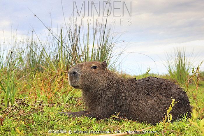 Capybara (Hydrochoerus hydrochaeris) lying down on marsh, Esteros del Ibera, Argentina  -  Michael Hutchinson/ npl
