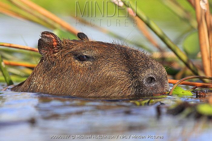Capybara (Hydrochoerus hydrochaeris) swimming, head above water, Esteros del Ibera, Argentina  -  Michael Hutchinson/ npl