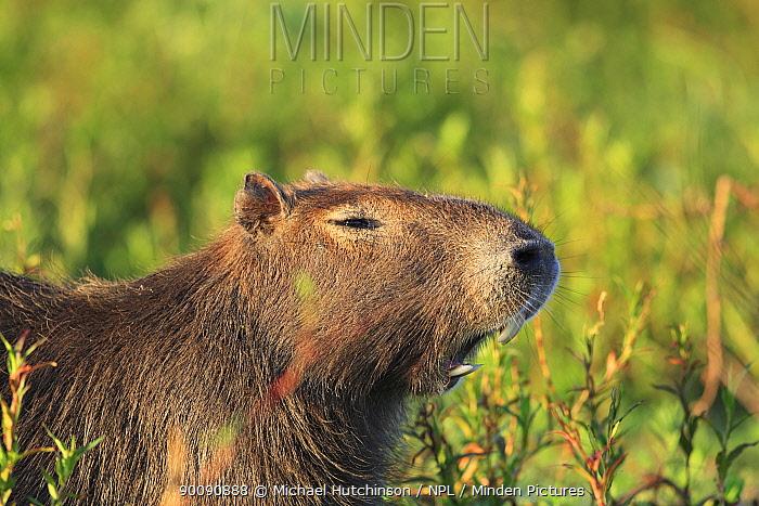 Capybara (Hydrochoerus hydrochaeris) showing incisor teeth as it yawns, Esteros del Ibera, Argentina  -  Michael Hutchinson/ npl