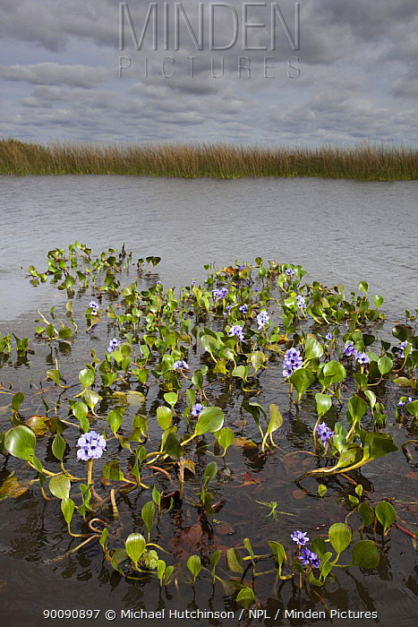 Water Hyacinth (Eichhornia crassipes) floating on lake in marsh, Esteros del Ibera, Argentina  -  Michael Hutchinson/ npl