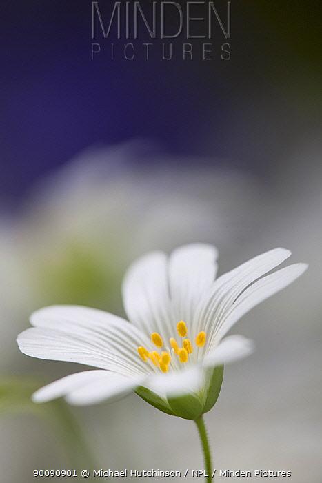 Greater Stitchwort (Stellaria holostea) flower, North Somerset, UK  -  Michael Hutchinson/ npl