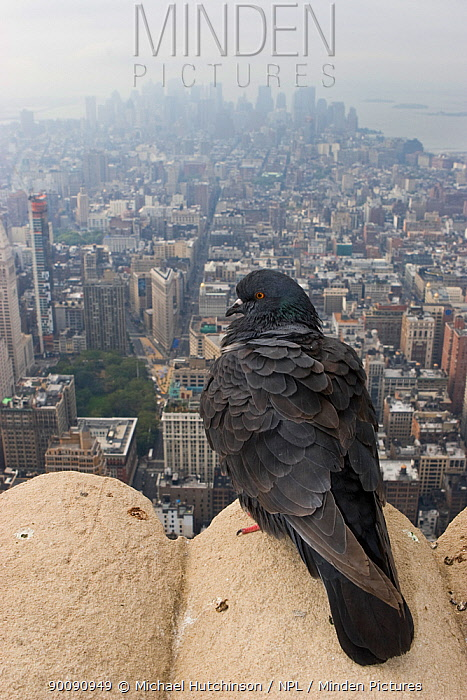 Feral pigeon, rock dove (Columba livia) perched on top of Empire State Building with view of Manhattan below, New York City, USA  -  Michael Hutchinson/ npl